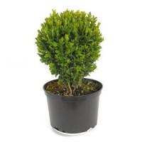 Buxus sempervirens 'Suffruticosa'