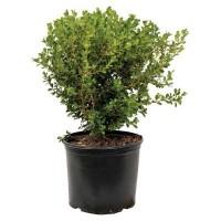 Buxus sempervirens 'Longifolia'