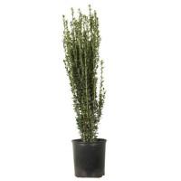 Buxus sempervirens Emerald Pillar